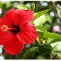 Hibiscusul